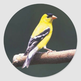 Goldfinch on a tree branch. classic round sticker
