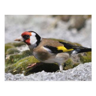 Goldfinch postcard