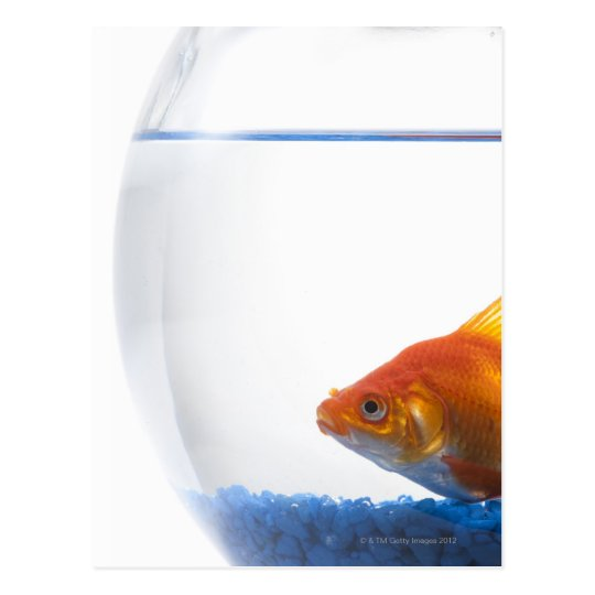 Goldfish in bowl on white background postcard