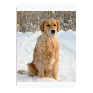 "goldie sitting in snow 5"" x 7"" invitation card"