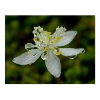 Goldthread Blossom on Unalaska Island Postcard