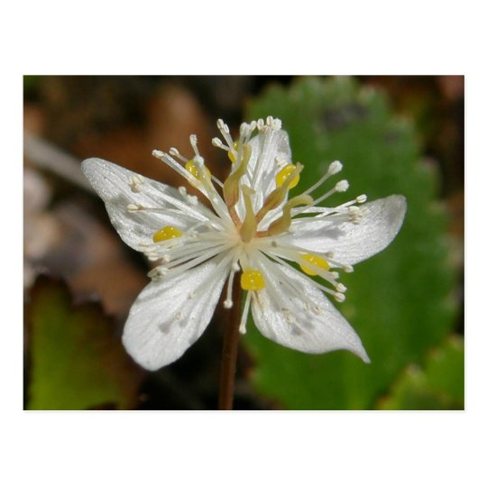 Goldthread Blossom, Unalaska Island Postcard