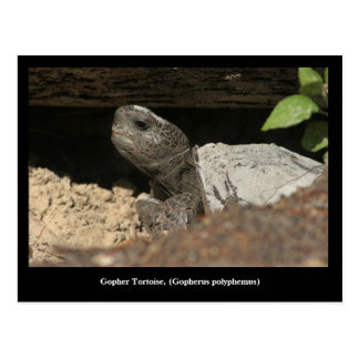 Gopher Tortoise On The Lookout Postcard
