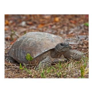 Gopher Tortoise Turtle Postcard