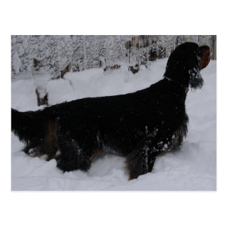 Gordon Setter Photo Postcard