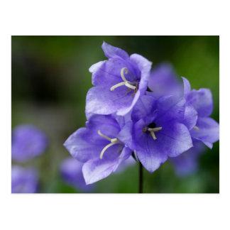 Gorgeous Blue Bellflower Postcard