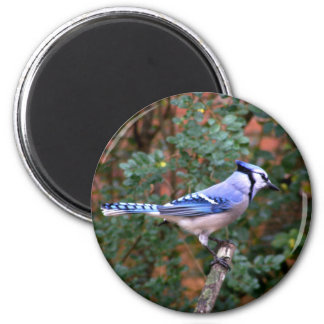 Gorgeous Blue Jay 2 Inch Round Magnet
