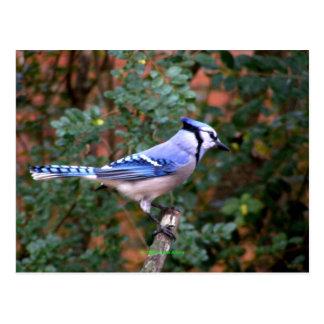 Gorgeous Blue Jay Postcard