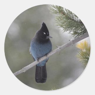 Gorgeous Blue Steller's Jay Round Sticker