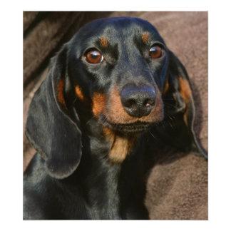 Gorgeous dachshund animal portrait photo print