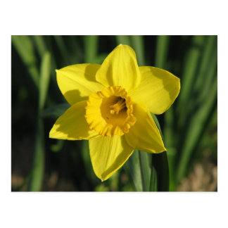 Gorgeous Daffodil Postcard