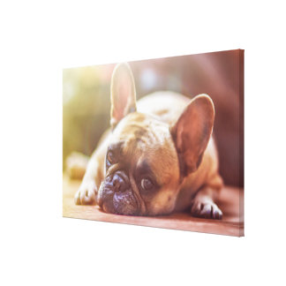 Gorgeous french bulldog lying down canvas print