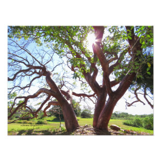 Gorgeous Gumbo Limbo trees Sun Print Photographic Print