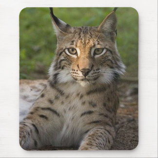 gorgeous lynx resting mouse pad