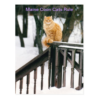 Gorgeous Maine Coon Cat in winter Postcard