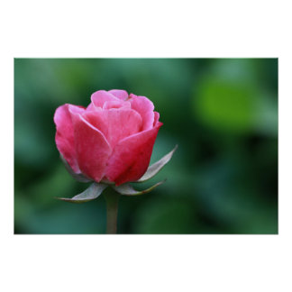 Gorgeous Red / Pink Rose Poster