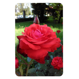 Gorgeous Red Roses Magnet