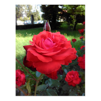 Gorgeous Red Roses Postcard