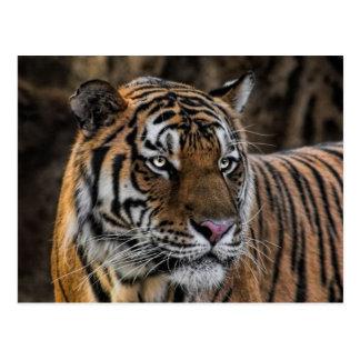 Gorgeous Tiger Sleek Wildcat Face Post Card