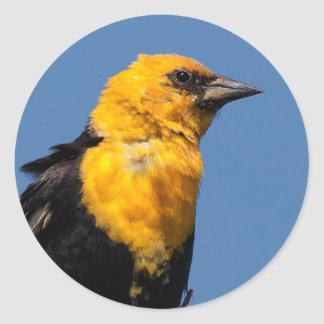 Gorgeous Yellow-Headed Blackbird on a Windy Day Round Sticker