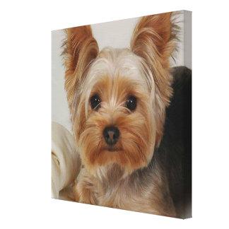 Gorgeous Yorkshire Terrier Canvas Print