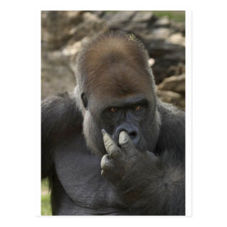 gorilla picking his nose - eeeewwwwwwww! postcard