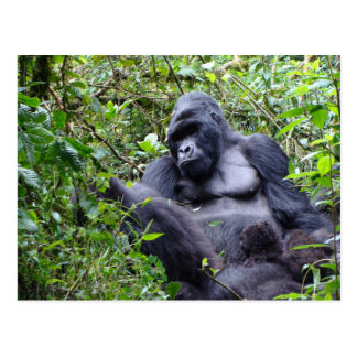Gorillas- Rwanda Postcard