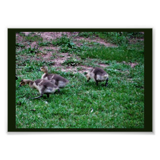 Goslings in Grass Poster