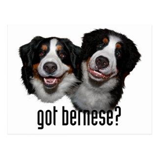 got bernese? postcard
