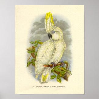 Gould - Blue-Eyed Cockatoo Portfolio Poster