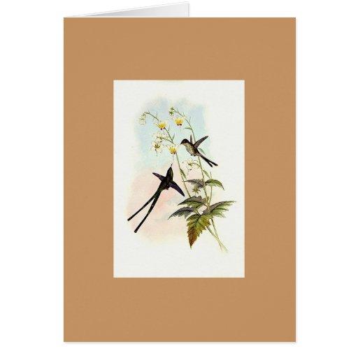 Gould - Graceful Train-bearer Hummingbird Greeting Cards