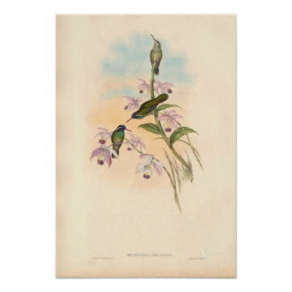 Gould Hummingbirds and Orchids Poster