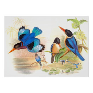 Gould Kingfisher Birds Poster