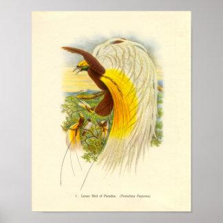 Gould - Lesser Bird Of Paradise Portfolio Poster