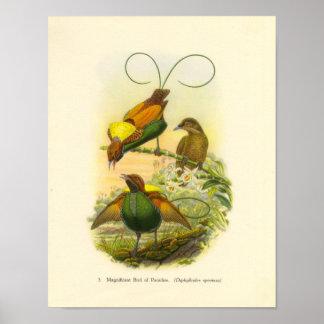Gould - Magnificent Bird Of Paradise Portfolio Poster