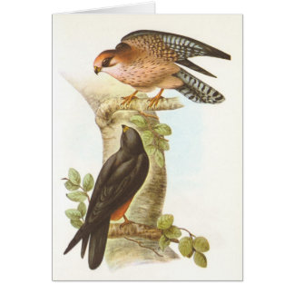 Gould - Red-Footed Falcon - Falco vespertinus Card