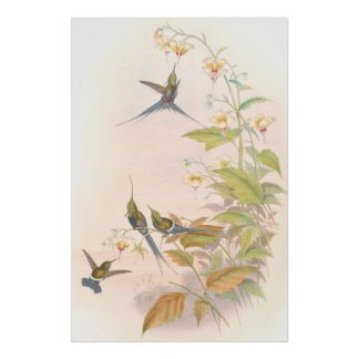 Goulds Hummingbirds Poster