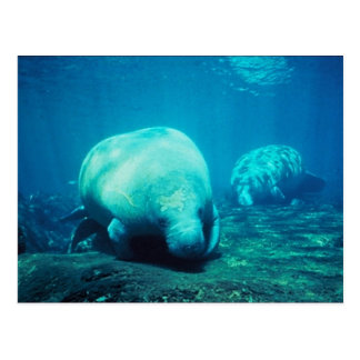 Graceful Florida Manatees Post Card