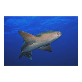 Graceful Nurse Shark Poster
