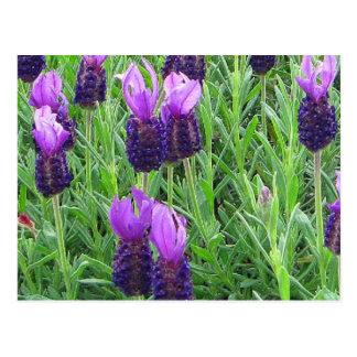 Grace's Lavender Postcard
