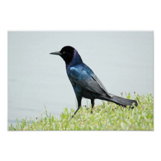 Grackle or Crow Poster