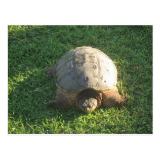 Grandpa Turtle Postcard