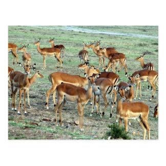 grant gazelle herd postcard