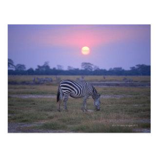 Grant Zebra 6 Postcard