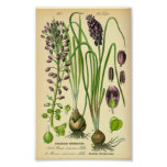 Grape Hyacinth (Muscari neglectum) Poster