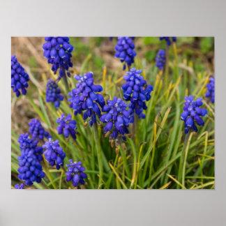 Grape Hyacinths Family Poster