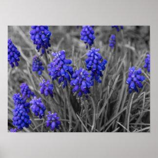 Grape Hyacinths Family Select Poster