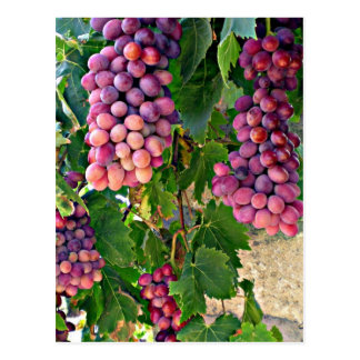 Grape Vine Postcard