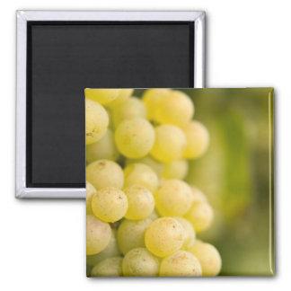 grapes magnet