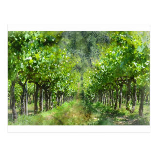 Grapevines in Spring in Napa Valley California Postcard